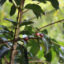 Bucaramanga Colombia Coffee Farm