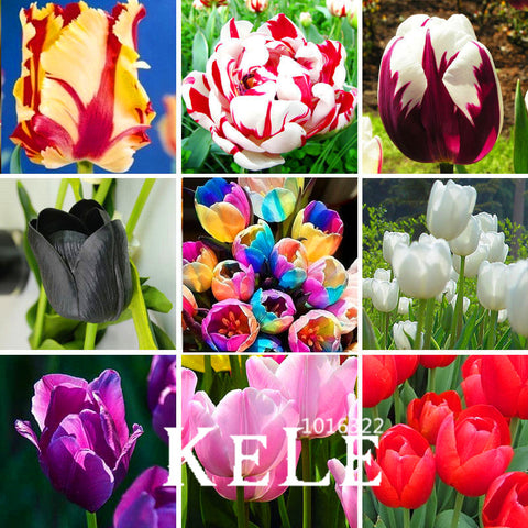 Big Sale, (10 pieces/pack) Tulip seeds,Tulipa gesneriana,potted plants, planting seasons, flowering plants,#Q8UBU4 - PIBBO