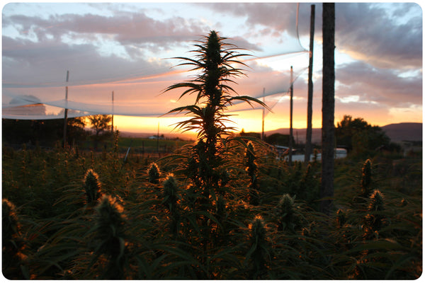 CBD Hemp Farm Sunset