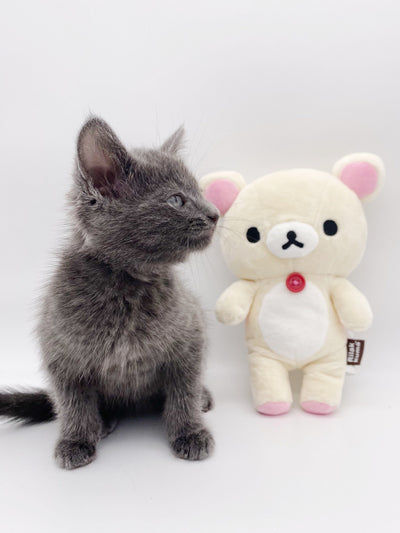 A dark gray kitten is next to a small white plush bear.