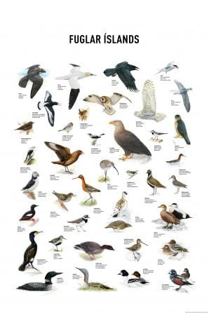 Birds of Iceland, poster - icelandicstore.is