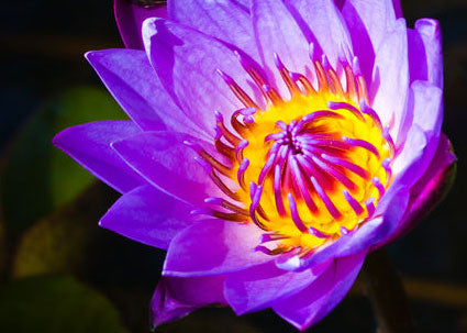 lotus flower exctract