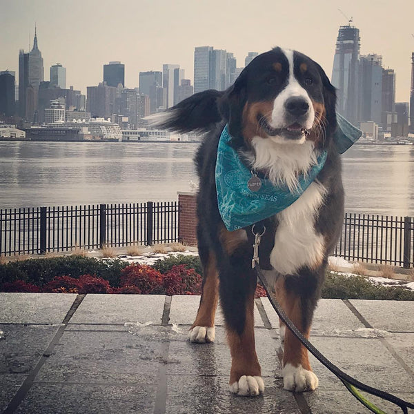 The Story of the Traveling Berner Bandana