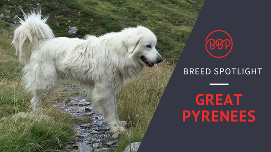 [Big Breed Spotlight] Great Pyrenees