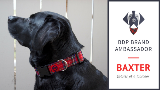 Brand Ambassador Baxter the Lab
