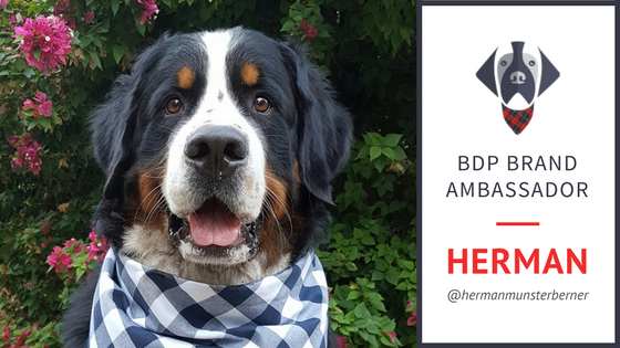 Meet Herman - Big Dog Plaid Brand Ambassador