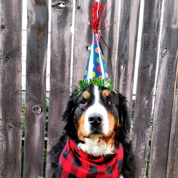Bernese Mountain Dog Birthday