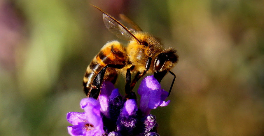 3 Ways to Help Protect Bees from Extinction