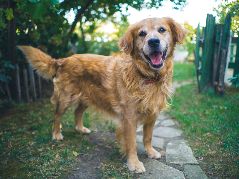 CBD Honey for Dogs: How to Keep Your Dog Healthy