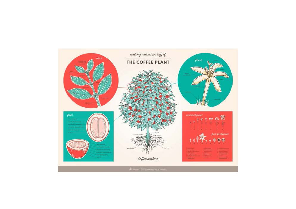 SCAA Anatomy of Coffee Plant Poster