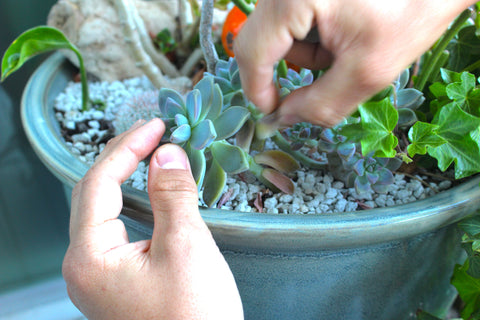 How to pull the leaves off succulent for propagation