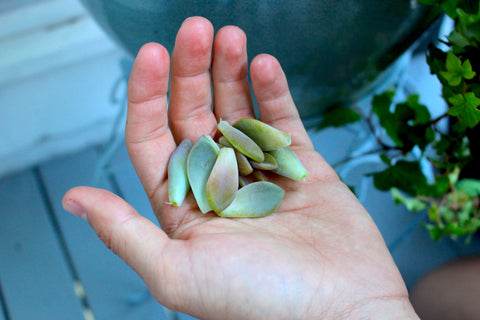 Handful of succulent leaves for propagation
