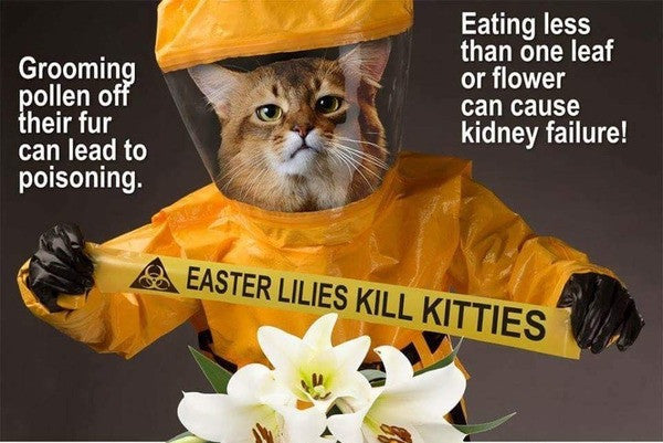 How EASTER Lilies KILL Kitties?
