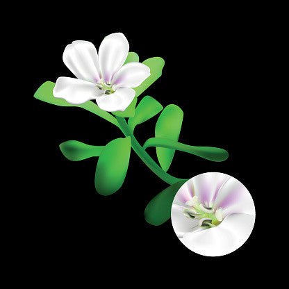 Bacopa Monnieri | Brother Nature Nootropics