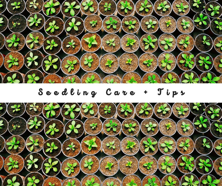 Seedling Care + Tips