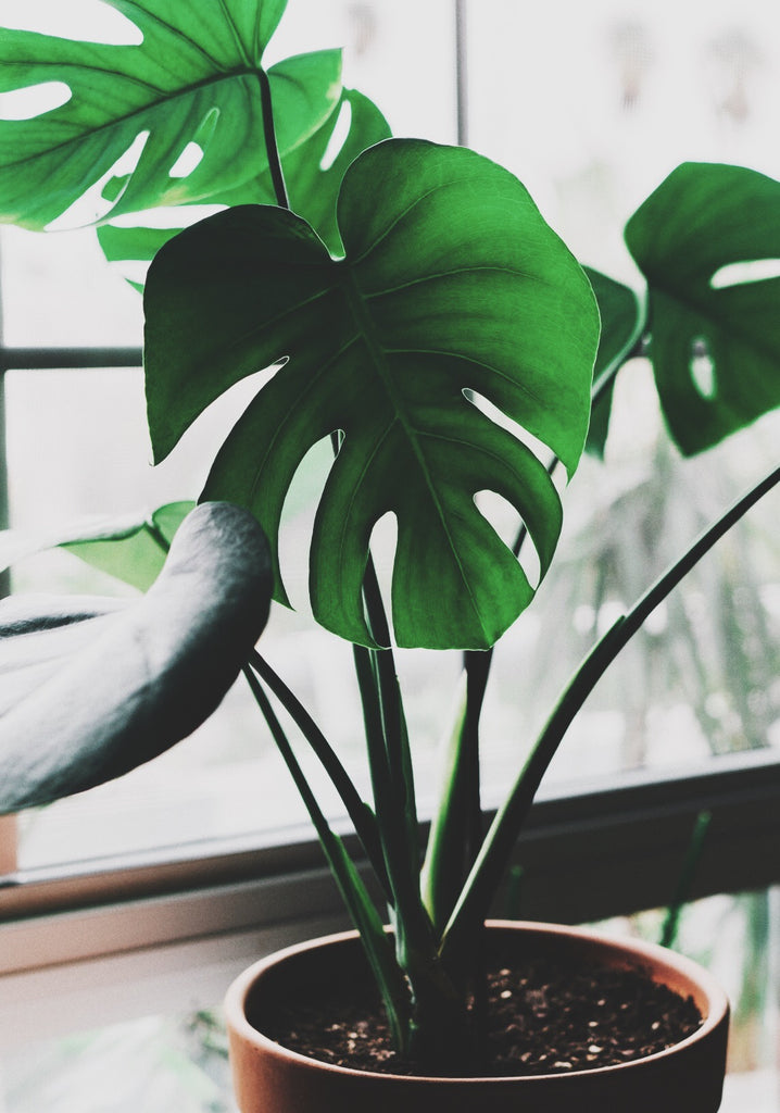 window light, house plant, sunlight, plant guide, care, garden