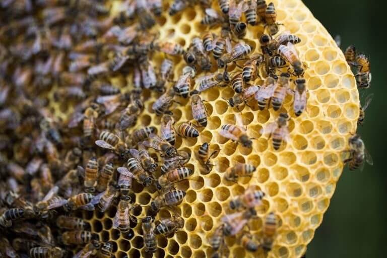 Fun facts about Bees, Magnolia Roots, Honeybeees, Save the Bees