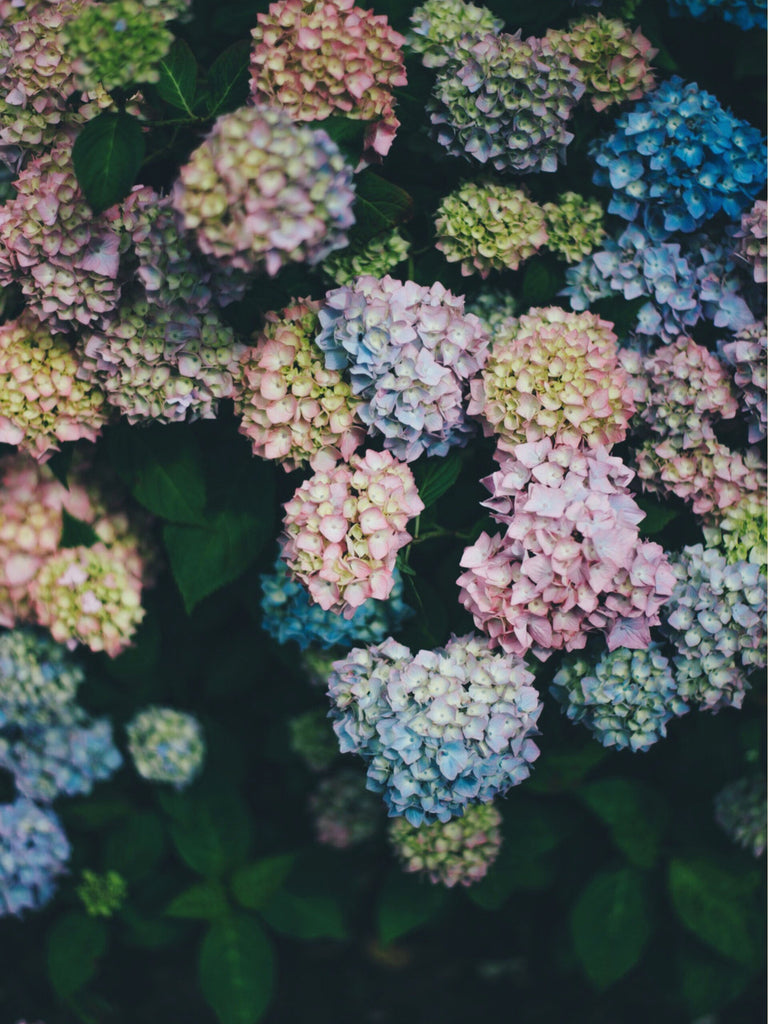 hydrangeas, floral, flowers, flower farmer, gardener, spring, rainbow, colorful, farmhouse style, garden, country, bouquet, fresh