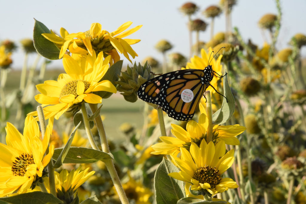 butterfly, monarch, sunflower, habitat, conservation, pollinator, migration, save the monarchs, butterflies, monarchs matter