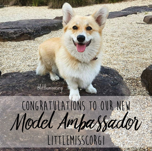 Little Miss Corgi - Our Model Ambassador Winner!