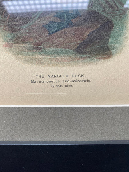 Great Vintage Print of a Marbled Duck