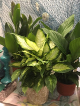 Indoor Plant. House~plant 6 inch mixed foliages