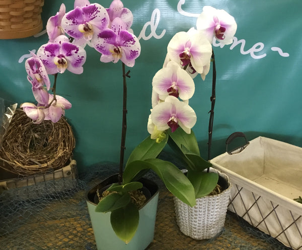 Indoor Plant Orchid ~Lovely Phalaenopsis Oriental~