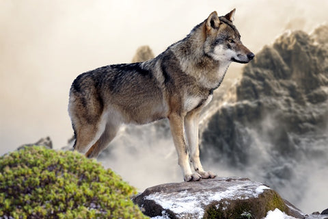 7 Surprisingly Interesting Facts About Wolves You Didn't Know Before