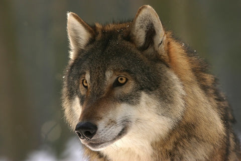 7 Surprisingly Interesting Facts About Wolves You Didn't Know Before FrantDelux