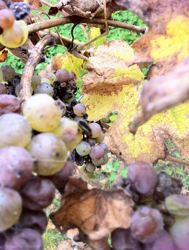 Riesling - Let the grapes do the talking