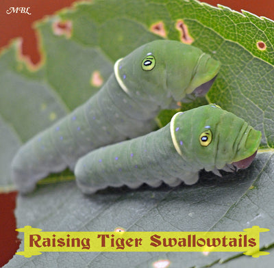 How to Raise Eastern Tiger Swallowtails- Butterfly Life Cycle Photos