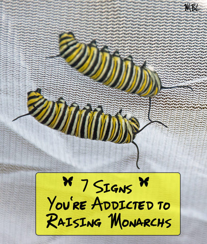 Are You Addicted to Raising Monarchs Butterflies? See the 7 signs of monarch addiction here...