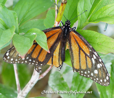 Raising Hope for the 2017 Monarch Migration- Raise The Migration 5 Results