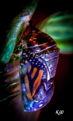Hatching Butterflies…a Monarch Emerges from its Chrysalis!