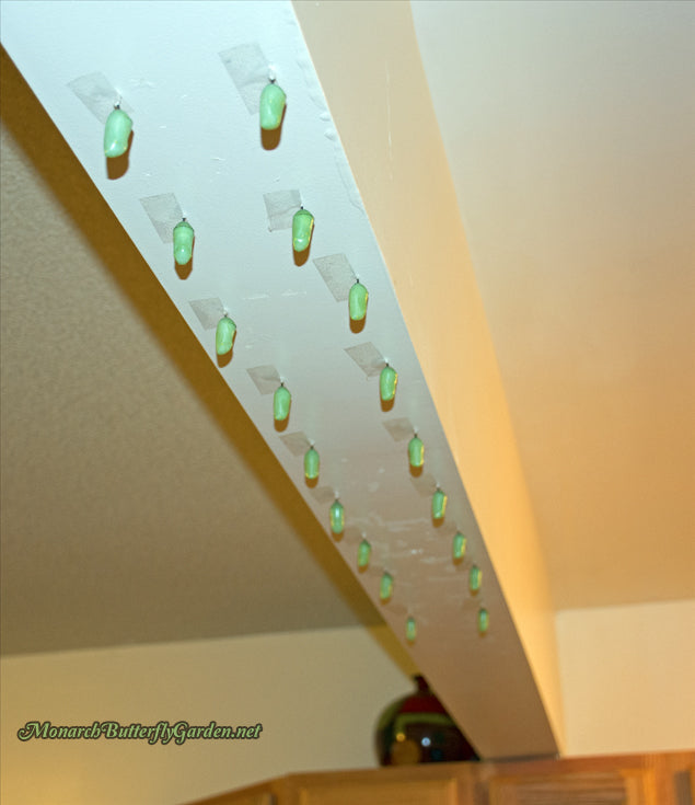 When should you consider rehanging monarch chrysalises and how to safely accomplish this nerve-wracking task- Monarch Chrysalis Problems and Helpful Solutions