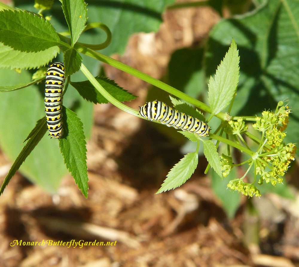 Black swallowtails become quite colorful as they grow to their larger caterpillar instars. Many confuse them with monarch caterpillars. Compare to the monarch photo on this page and you'll see the differences...
