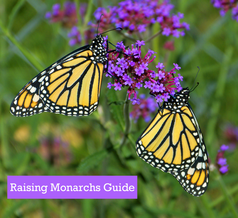 How to Raise Monarchs Guide