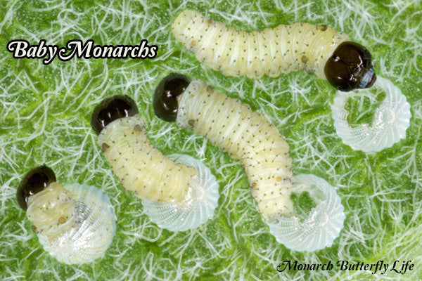 How to keep Baby Monarch Caterpillars Safe from Harm- Raise Monarch Butterflies