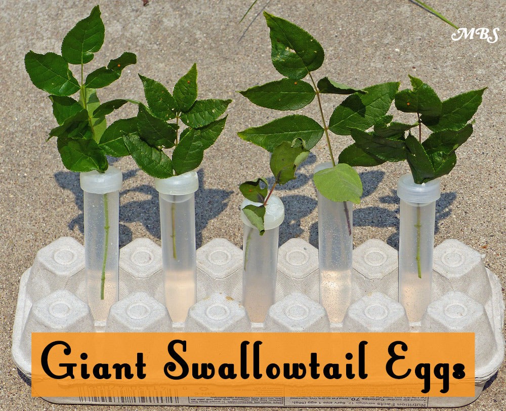 Use Floral Tubes to keep stem cuttings fresh for giant swallowtail caterpillars