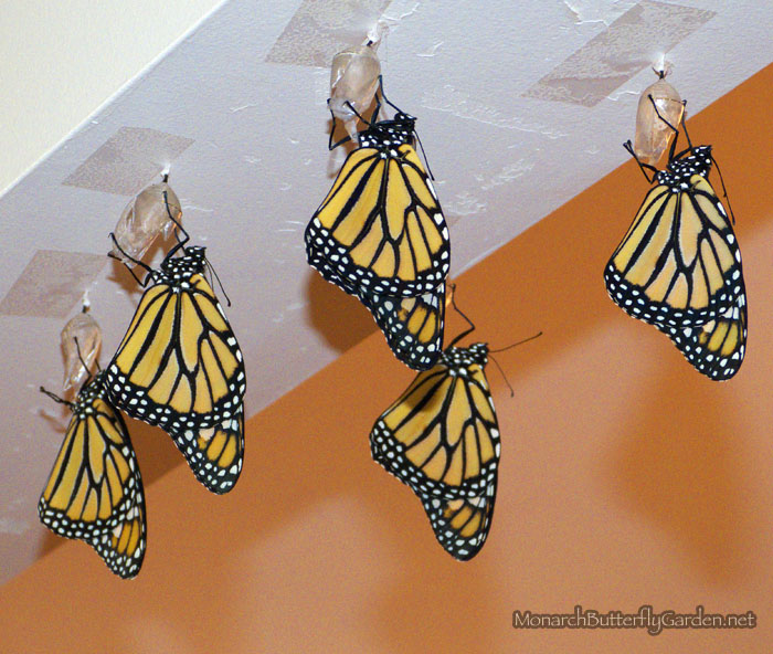 Taped Up Monarch Chrysalides