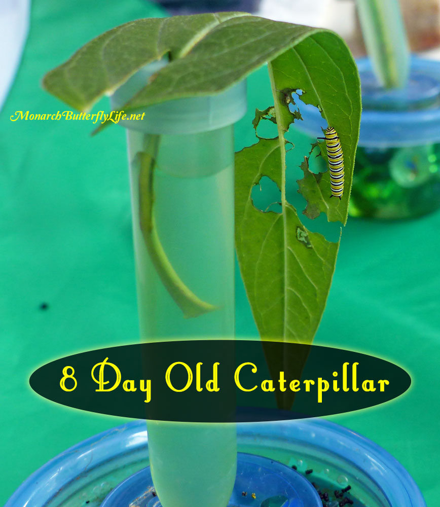 A Single Leaf Cutting can support a monarch from egg to 8 Day Old Caterpillar- Raise The Migration Lessons Learned