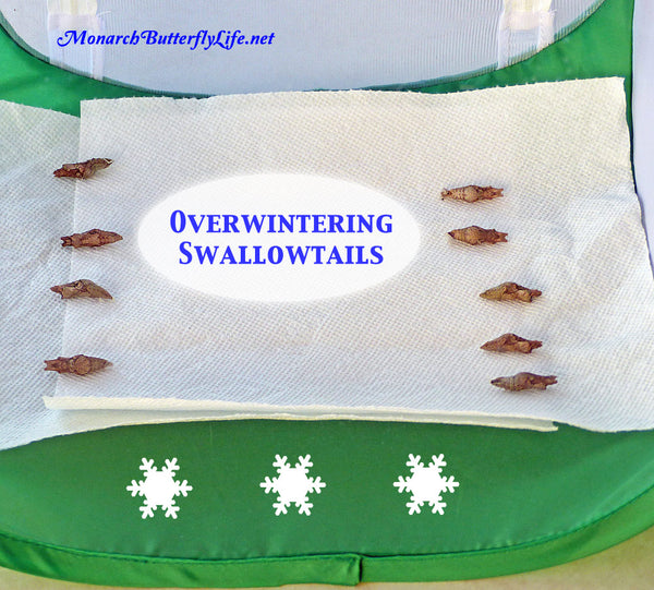How to overwinter swallowtails in a mesh butterfly cage without rehanging a single swallowtail chrysalis...