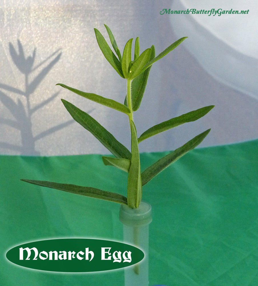 Use Milkweed Cuttings to keep milkweed fresh while waiting for monarch eggs to hatch. In fact, when you collect monarch eggs on cuttings, you can raise the caterpillar on the one small cutting for over a week!