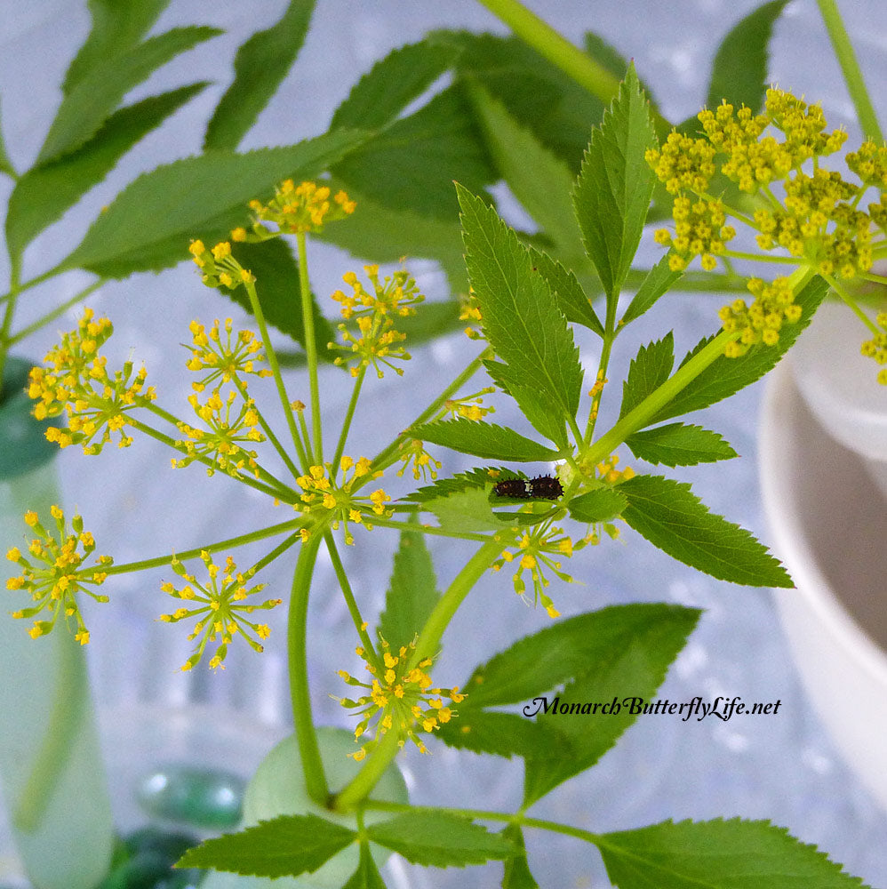 Golden Alexander is a native host plant for eastern black swallowtails. It's a superior plant for stem cuttings if you plan to raise and release them back to nature. More info here...