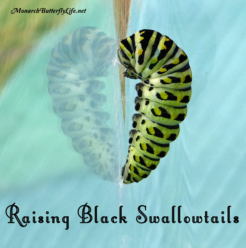 Black swallowtail caterpillars spin a silk girdle which allows them to lay back to form their chrysalis. See more of their amazing butterfly life cycle...