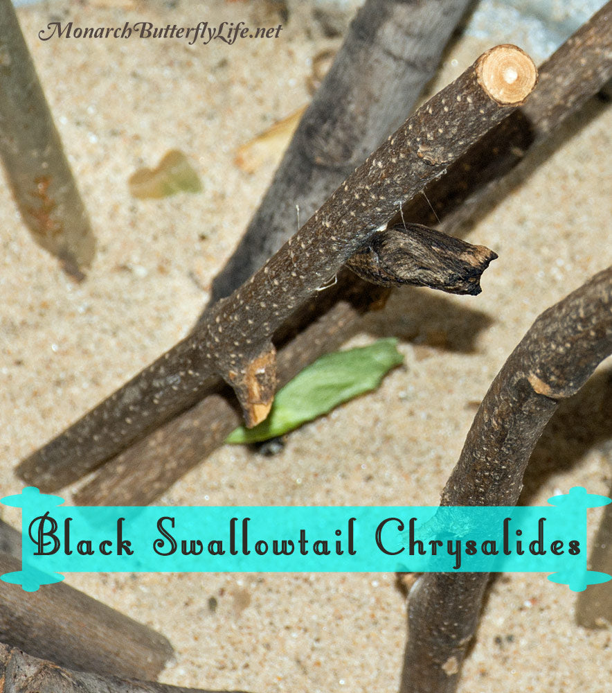 The overwintering generations of eastern black swallowtails often form brown chrysalides, which help them to blend in with the barren trees of winter. Learn more about raising and overwintering swallowtails through their life cycle...