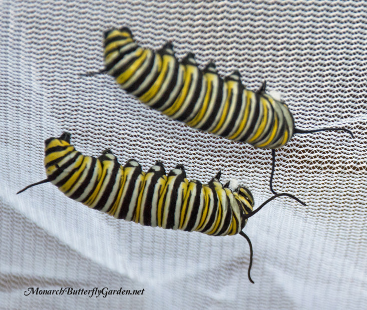 Two Monarch Caterpillars Spinning silk buttons to hang their chrysalis
