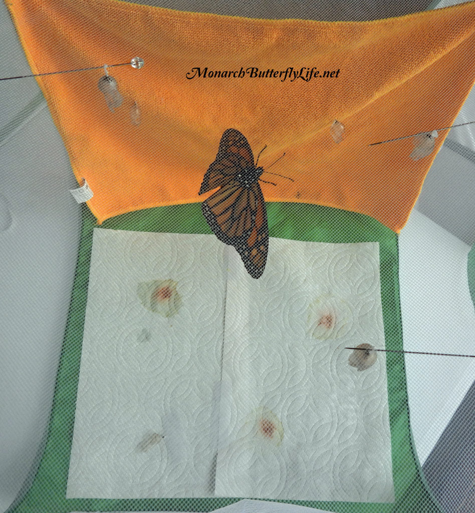 6 Monarch Chrysalides Rehung- Raise The Migration Results