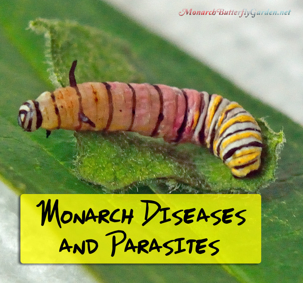 12 Common Monarch Diseases, Parasites, and Caterpillar Killers + How to Prevent them