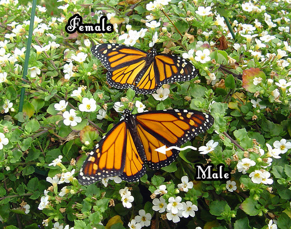 Can you spot the differences between this monarch male and female? More photos and info on how to distinguish monarch females from their male counterparts.